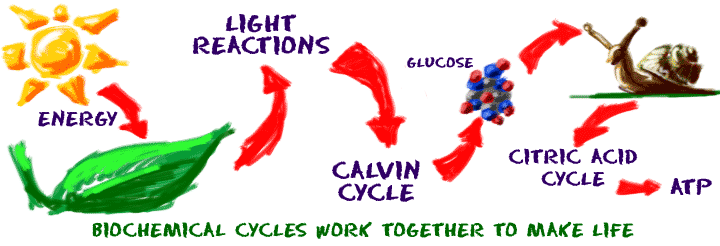 Biochemical cycles work together to make life.